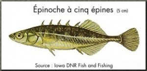 epinoche_a_cinq_epines